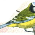 Blue tit, hand-painted