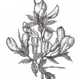 Detailed botanical line drawings